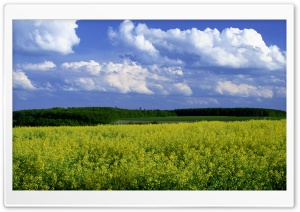 Mustard Flower Field 4 HD Wide Wallpaper for Widescreen