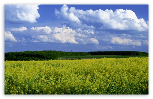 Mustard Flower Field 4 HD wallpaper for Standard 4:3 5:4 Fullscreen UXGA XGA SVGA QSXGA SXGA ; Wide 16:10 5:3 Widescreen WHXGA WQXGA WUXGA WXGA WGA ; HD 16:9 High Definition WQHD QWXGA 1080p 900p 720p QHD nHD ; Other 3:2 DVGA HVGA HQVGA devices ( Apple PowerBook G4 iPhone 4 3G 3GS iPod Touch ) ; Mobile VGA WVGA iPhone iPad PSP Phone - VGA QVGA Smartphone ( PocketPC GPS iPod Zune BlackBerry HTC Samsung LG Nokia Eten Asus ) WVGA WQVGA Smartphone ( HTC Samsung Sony Ericsson LG Vertu MIO ) HVGA Smartphone ( Apple iPhone iPod BlackBerry HTC Samsung Nokia ) Sony PSP Zune HD Zen ; Tablet 2 ; Dual 4:3 5:4 16:10 5:3 16:9 UXGA XGA SVGA QSXGA SXGA WHXGA WQXGA WUXGA WXGA WGA WQHD QWXGA 1080p 900p 720p QHD nHD ;