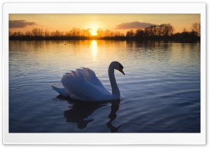 Mute Swan HD Wide Wallpaper for 4K UHD Widescreen desktop & smartphone