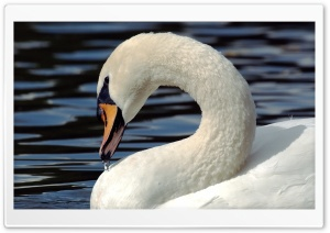 Mute Swan (Cygnus Olor) HD Wide Wallpaper for Widescreen