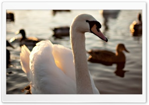 Mute Swan Swimming On A Lake HD Wide Wallpaper for Widescreen