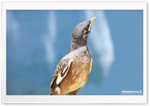 Myna Bird Ultra HD Wallpaper for 4K UHD Widescreen desktop, tablet & smartphone