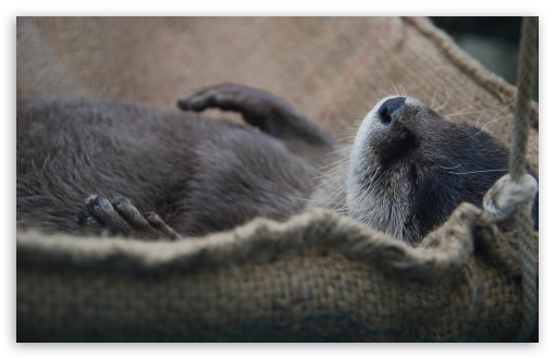Nap Otter HD wallpaper for Wide 16:10 5:3 Widescreen WHXGA WQXGA WUXGA WXGA WGA ; HD 16:9 High Definition WQHD QWXGA 1080p 900p 720p QHD nHD ; UHD 16:9 WQHD QWXGA 1080p 900p 720p QHD nHD ; Standard 4:3 5:4 Fullscreen UXGA XGA SVGA QSXGA SXGA ; MS 3:2 DVGA HVGA HQVGA devices ( Apple PowerBook G4 iPhone 4 3G 3GS iPod Touch ) ; Mobile VGA WVGA iPhone iPad PSP Phone - VGA QVGA Smartphone ( PocketPC GPS iPod Zune BlackBerry HTC Samsung LG Nokia Eten Asus ) WVGA WQVGA Smartphone ( HTC Samsung Sony Ericsson LG Vertu MIO ) HVGA Smartphone ( Apple iPhone iPod BlackBerry HTC Samsung Nokia ) Sony PSP Zune HD Zen ; Tablet 1&2 Android Retina ; Dual 4:3 5:4 UXGA XGA SVGA QSXGA SXGA ;