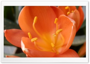 Naranja Flor HD Wide Wallpaper for Widescreen