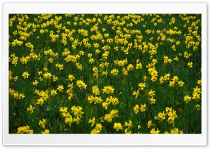 Narcissus HD Wide Wallpaper for Widescreen
