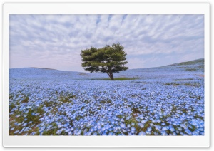 Nemophila Flower Field HD Wide Wallpaper for Widescreen