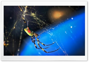 Nephila Clavata Spider HD Wide Wallpaper for Widescreen