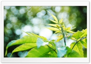 New Leaves Bokeh HD Wide Wallpaper for Widescreen