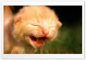 Newborn Kitten Crying HD Wide Wallpaper for 4K UHD Widescreen desktop & smartphone