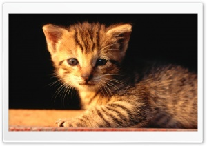 Newborn Tabby Kitten HD Wide Wallpaper for Widescreen