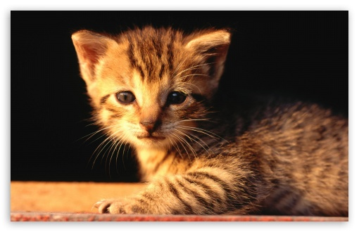 Newborn Tabby Kitten HD wallpaper for Wide 16:10 5:3 Widescreen WHXGA WQXGA WUXGA WXGA WGA ; HD 16:9 High Definition WQHD QWXGA 1080p 900p 720p QHD nHD ; Standard 4:3 5:4 3:2 Fullscreen UXGA XGA SVGA QSXGA SXGA DVGA HVGA HQVGA devices ( Apple PowerBook G4 iPhone 4 3G 3GS iPod Touch ) ; Tablet 1:1 ; iPad 1/2/Mini ; Mobile 4:3 5:3 3:2 16:9 5:4 - UXGA XGA SVGA WGA DVGA HVGA HQVGA devices ( Apple PowerBook G4 iPhone 4 3G 3GS iPod Touch ) WQHD QWXGA 1080p 900p 720p QHD nHD QSXGA SXGA ;