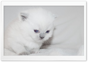 Newborn White Kitten HD Wide Wallpaper for Widescreen