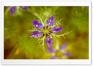 Nigella Damascena Flower Macro HD Wide Wallpaper for Widescreen
