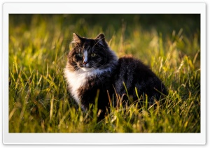 Norwegian Forest Cat HD Wide Wallpaper for 4K UHD Widescreen desktop & smartphone