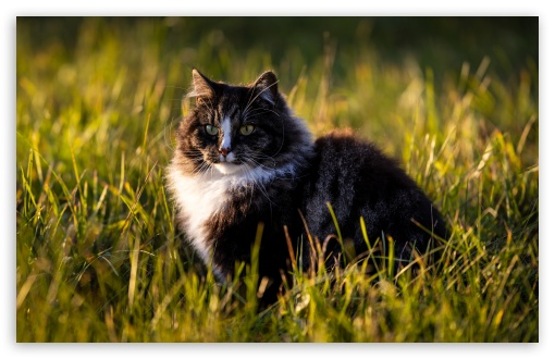 Norwegian Forest Cat HD wallpaper for Wide 16:10 5:3 Widescreen WHXGA WQXGA WUXGA WXGA WGA ; HD 16:9 High Definition WQHD QWXGA 1080p 900p 720p QHD nHD ; Standard 4:3 5:4 3:2 Fullscreen UXGA XGA SVGA QSXGA SXGA DVGA HVGA HQVGA devices ( Apple PowerBook G4 iPhone 4 3G 3GS iPod Touch ) ; iPad 1/2/Mini ; Mobile 4:3 5:3 3:2 16:9 5:4 - UXGA XGA SVGA WGA DVGA HVGA HQVGA devices ( Apple PowerBook G4 iPhone 4 3G 3GS iPod Touch ) WQHD QWXGA 1080p 900p 720p QHD nHD QSXGA SXGA ;