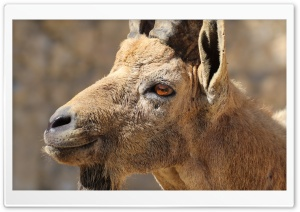 Nubian Ibex Portrait HD Wide Wallpaper for Widescreen
