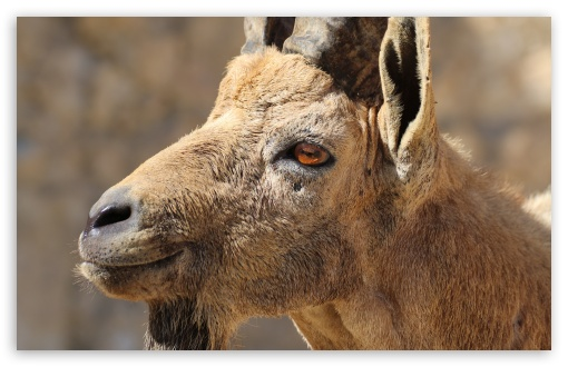 Nubian Ibex Portrait ❤ 4K UHD Wallpaper for Wide 16:10 5:3 Widescreen WHXGA WQXGA WUXGA WXGA WGA ; 4K UHD 16:9 Ultra High Definition 2160p 1440p 1080p 900p 720p ; UHD 16:9 2160p 1440p 1080p 900p 720p ; Standard 4:3 5:4 3:2 Fullscreen UXGA XGA SVGA QSXGA SXGA DVGA HVGA HQVGA ( Apple PowerBook G4 iPhone 4 3G 3GS iPod Touch ) ; Tablet 1:1 ; iPad 1/2/Mini ; Mobile 4:3 5:3 3:2 16:9 5:4 - UXGA XGA SVGA WGA DVGA HVGA HQVGA ( Apple PowerBook G4 iPhone 4 3G 3GS iPod Touch ) 2160p 1440p 1080p 900p 720p QSXGA SXGA ;