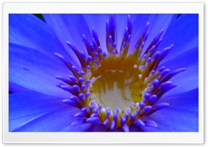 Nymphaea Capensis (Cape blue water lily) HD Wide Wallpaper for Widescreen