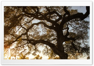 Oak HD Wide Wallpaper for Widescreen