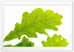 Oak Leaf HD Wide Wallpaper for Widescreen