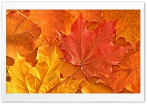 Oak Leaves HD Wide Wallpaper for Widescreen