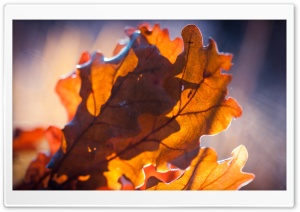 Oak Leaves, Autumn HD Wide Wallpaper for Widescreen