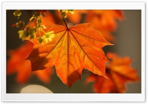 Oak Rust Colored Leaves HD Wide Wallpaper for 4K UHD Widescreen desktop & smartphone
