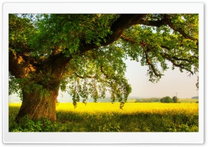 Oak Tree HD Wide Wallpaper for Widescreen