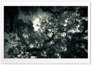 Oak Tree Branches HD Wide Wallpaper for Widescreen