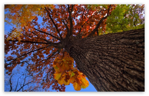 Download Oak Tree HDR Autumn HD Wallpaper