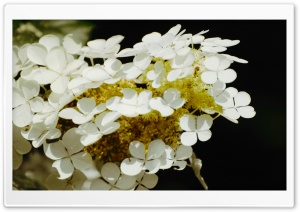 Oakleaf Hydrangea HD Wide Wallpaper for Widescreen