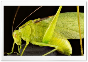Oblong Winged Katydid Green Morph Grasshopper HD Wide Wallpaper for 4K UHD Widescreen desktop & smartphone