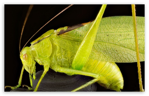 Oblong Winged Katydid Green Morph Grasshopper ❤ 4K UHD Wallpaper for Wide 16:10 5:3 Widescreen WHXGA WQXGA WUXGA WXGA WGA ; UltraWide 21:9 24:10 ; 4K UHD 16:9 Ultra High Definition 2160p 1440p 1080p 900p 720p ; UHD 16:9 2160p 1440p 1080p 900p 720p ; Standard 4:3 5:4 3:2 Fullscreen UXGA XGA SVGA QSXGA SXGA DVGA HVGA HQVGA ( Apple PowerBook G4 iPhone 4 3G 3GS iPod Touch ) ; Smartphone 16:9 3:2 5:3 2160p 1440p 1080p 900p 720p DVGA HVGA HQVGA ( Apple PowerBook G4 iPhone 4 3G 3GS iPod Touch ) WGA ; Tablet 1:1 ; iPad 1/2/Mini ; Mobile 4:3 5:3 3:2 16:9 5:4 - UXGA XGA SVGA WGA DVGA HVGA HQVGA ( Apple PowerBook G4 iPhone 4 3G 3GS iPod Touch ) 2160p 1440p 1080p 900p 720p QSXGA SXGA ;