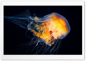 Ocean Jellyfish HD Wide Wallpaper for 4K UHD Widescreen desktop & smartphone