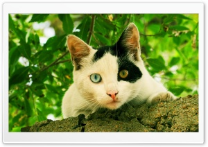 Odd-eyed Cat HD Wide Wallpaper for Widescreen