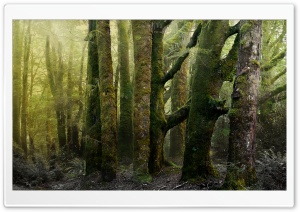 Old Forest Covered In Moss HD Wide Wallpaper for Widescreen