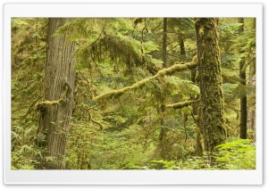 Old Growth Rainforest In Pacific Rim National Park Vancouver Island Canada HD Wide Wallpaper for Widescreen