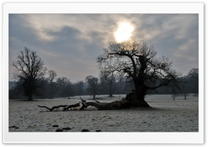Old Tree, Winter Ultra HD Wallpaper for 4K UHD Widescreen desktop, tablet & smartphone