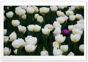 One Purple Tulip In A Full Field Of White Ones HD Wide Wallpaper for Widescreen