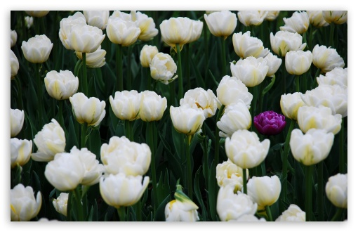 One Purple Tulip In A Full Field Of White Ones ❤ 4K UHD Wallpaper for Wide 16:10 5:3 Widescreen WHXGA WQXGA WUXGA WXGA WGA ; 4K UHD 16:9 Ultra High Definition 2160p 1440p 1080p 900p 720p ; UHD 16:9 2160p 1440p 1080p 900p 720p ; Standard 4:3 5:4 3:2 Fullscreen UXGA XGA SVGA QSXGA SXGA DVGA HVGA HQVGA ( Apple PowerBook G4 iPhone 4 3G 3GS iPod Touch ) ; Tablet 1:1 ; iPad 1/2/Mini ; Mobile 4:3 5:3 3:2 16:9 5:4 - UXGA XGA SVGA WGA DVGA HVGA HQVGA ( Apple PowerBook G4 iPhone 4 3G 3GS iPod Touch ) 2160p 1440p 1080p 900p 720p QSXGA SXGA ; Dual 16:10 5:3 16:9 4:3 5:4 WHXGA WQXGA WUXGA WXGA WGA 2160p 1440p 1080p 900p 720p UXGA XGA SVGA QSXGA SXGA ;