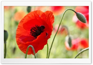One Red Poppy HD Wide Wallpaper for Widescreen