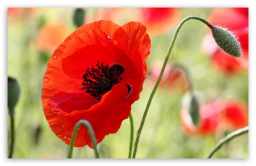 One Red Poppy ❤ 4K UHD Wallpaper for Wide 16:10 5:3 Widescreen WHXGA WQXGA WUXGA WXGA WGA ; 4K UHD 16:9 Ultra High Definition 2160p 1440p 1080p 900p 720p ; Standard 4:3 5:4 3:2 Fullscreen UXGA XGA SVGA QSXGA SXGA DVGA HVGA HQVGA ( Apple PowerBook G4 iPhone 4 3G 3GS iPod Touch ) ; Tablet 1:1 ; iPad 1/2/Mini ; Mobile 4:3 5:3 3:2 16:9 5:4 - UXGA XGA SVGA WGA DVGA HVGA HQVGA ( Apple PowerBook G4 iPhone 4 3G 3GS iPod Touch ) 2160p 1440p 1080p 900p 720p QSXGA SXGA ;