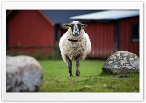 One Sheep HD Wide Wallpaper for Widescreen