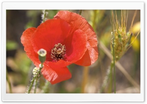Open Poppy Flower HD Wide Wallpaper for Widescreen
