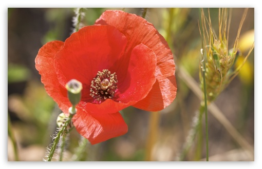 Open Poppy Flower HD wallpaper for Wide 16:10 5:3 Widescreen WHXGA WQXGA WUXGA WXGA WGA ; HD 16:9 High Definition WQHD QWXGA 1080p 900p 720p QHD nHD ; Standard 4:3 5:4 3:2 Fullscreen UXGA XGA SVGA QSXGA SXGA DVGA HVGA HQVGA devices ( Apple PowerBook G4 iPhone 4 3G 3GS iPod Touch ) ; Tablet 1:1 ; iPad 1/2/Mini ; Mobile 4:3 5:3 3:2 16:9 5:4 - UXGA XGA SVGA WGA DVGA HVGA HQVGA devices ( Apple PowerBook G4 iPhone 4 3G 3GS iPod Touch ) WQHD QWXGA 1080p 900p 720p QHD nHD QSXGA SXGA ;