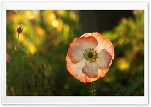 Opened Poppy HD Wide Wallpaper for Widescreen