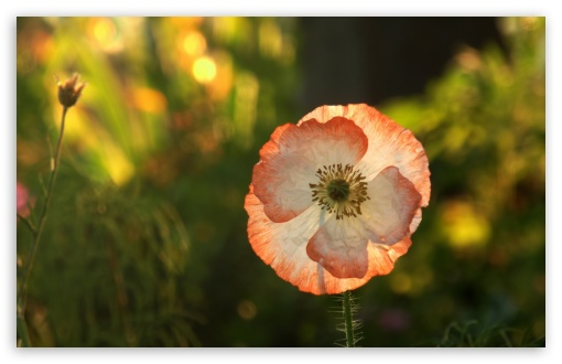 Opened Poppy HD wallpaper for Wide 16:10 5:3 Widescreen WHXGA WQXGA WUXGA WXGA WGA ; HD 16:9 High Definition WQHD QWXGA 1080p 900p 720p QHD nHD ; Standard 4:3 5:4 3:2 Fullscreen UXGA XGA SVGA QSXGA SXGA DVGA HVGA HQVGA devices ( Apple PowerBook G4 iPhone 4 3G 3GS iPod Touch ) ; Tablet 1:1 ; iPad 1/2/Mini ; Mobile 4:3 5:3 3:2 16:9 5:4 - UXGA XGA SVGA WGA DVGA HVGA HQVGA devices ( Apple PowerBook G4 iPhone 4 3G 3GS iPod Touch ) WQHD QWXGA 1080p 900p 720p QHD nHD QSXGA SXGA ; Dual 5:4 QSXGA SXGA ;
