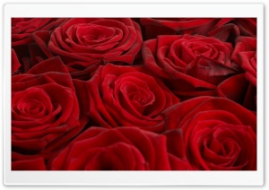 Opened Red Roses HD Wide Wallpaper for Widescreen