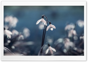 Opened Snowdrops HD Wide Wallpaper for Widescreen
