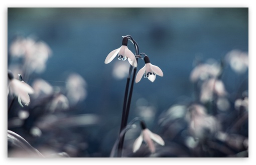 Opened Snowdrops HD wallpaper for Wide 16:10 5:3 Widescreen WHXGA WQXGA WUXGA WXGA WGA ; HD 16:9 High Definition WQHD QWXGA 1080p 900p 720p QHD nHD ; UHD 16:9 WQHD QWXGA 1080p 900p 720p QHD nHD ; Standard 4:3 5:4 3:2 Fullscreen UXGA XGA SVGA QSXGA SXGA DVGA HVGA HQVGA devices ( Apple PowerBook G4 iPhone 4 3G 3GS iPod Touch ) ; Tablet 1:1 ; iPad 1/2/Mini ; Mobile 4:3 5:3 3:2 16:9 5:4 - UXGA XGA SVGA WGA DVGA HVGA HQVGA devices ( Apple PowerBook G4 iPhone 4 3G 3GS iPod Touch ) WQHD QWXGA 1080p 900p 720p QHD nHD QSXGA SXGA ; Dual 16:10 5:3 4:3 5:4 WHXGA WQXGA WUXGA WXGA WGA UXGA XGA SVGA QSXGA SXGA ;